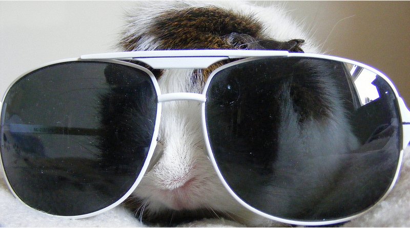 guniea pig wearing glasses